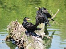 phalacrocorax cormorant carbo большой Стоковые Изображения RF