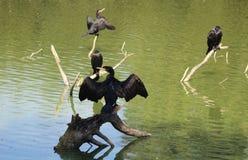 phalacrocorax cormorant carbo большой Стоковое Изображение