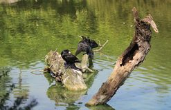 phalacrocorax cormorant carbo большой Стоковое Фото