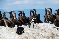 Phalacrocorax degli uccelli il demersus dello Spheniscus dei pinguini e del cormorano africani del capo capensic ai massi tirano, immagini stock