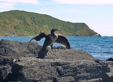 Phalacrocorax sits on rock. Spreading its wings Royalty Free Stock Photography