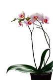 Phalaenopsi blanc et rouge Image libre de droits