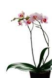 Phalaenopsi blanco y rojo Imagen de archivo libre de regalías
