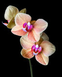 "Phalaenopsis ""Surf Song"" orchid Royalty Free Stock Image"