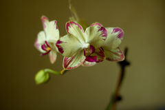 Phalaenopsis /ˌblue / Blume 1825, known as moth orchids, abbreviated Phal in the horticultural trade,[2] an orchid. Phalaenopsis /ˌfælᵻˈnɒps stock photo