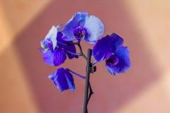 Phalaenopsis/ËŒblue, Blume 1825/, znać jako ćma orchidee, skracał Phal w ogrodniczym handlu, orchidea [2] Fotografia Stock
