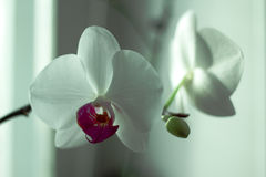 Phalaenopsis /ˌfælᵻˈnɒpsɪs/ Blume 1825, known as moth orchids, abbreviated Phal in the horticultural trade,[2] an orchid. Phalaenopsis /ˌfælᵻˈnɒpsɪ Stock Photos