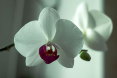 Phalaenopsis/ËŒfælᵓ ˈnÉ'psɪs/Blume 1825, als mottenorchideeën wordt bekend, kortte Phal in de tuinbouwhandel af, [2] een orc Stock Afbeeldingen