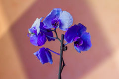 Phalaenopsis/ËŒblue/Blume 1825, als mottenorchideeën wordt bekend, kortte Phal in de tuinbouwhandel af, [2] een orchidee die Stock Fotografie