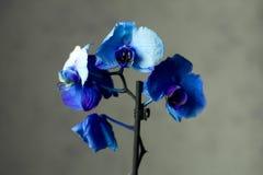 Phalaenopsis/ËŒblue/Blume 1825, bekannt als Mottenorchideen, kürzte Phal im Gartenbauhandel, [2] eine Orchidee ab Lizenzfreie Stockbilder