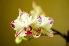 Phalaenopsis/ËŒblue/Blume 1825, bekannt als Mottenorchideen, kürzte Phal im Gartenbauhandel, [2] eine Orchidee ab Stockfoto