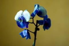 Phalaenopsis/ËŒblue/Blume 1825, bekannt als Mottenorchideen, kürzte Phal im Gartenbauhandel, [2] eine Orchidee ab Lizenzfreie Stockfotografie