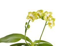 Phalaenopsis, ćma orchidea 'Jadegreen cukierki' Obraz Royalty Free
