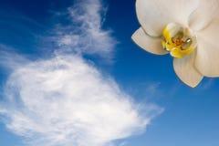 Phalaenopsis ορχιδεών ως ήλιο στον ουρανό Στοκ φωτογραφία με δικαίωμα ελεύθερης χρήσης