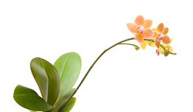phalaenopsis орхидеи Стоковые Фотографии RF