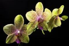 phalaenopsis орхидеи Стоковые Изображения