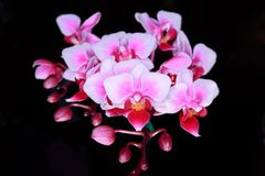 Phalaenopsis. In the best orchid Royalty Free Stock Image