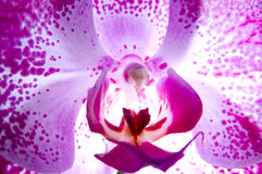 Phalaenopsis stock foto