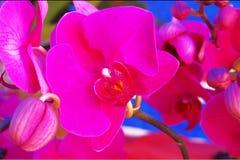 Phalaenopsis Fotos de archivo