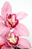 Phalaenopsis Fotografía de archivo