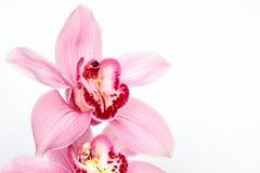 Phalaenopsis Fotografía de archivo libre de regalías