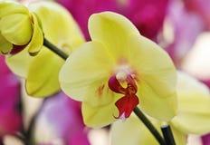 Phalaenopsis Royalty Free Stock Images