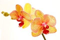 phalaenopsis Στοκ φωτογραφίες με δικαίωμα ελεύθερης χρήσης