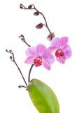 Phalaenopsis, Royalty Free Stock Photo