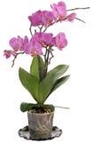 Phalaenopsis. Imagem de Stock Royalty Free
