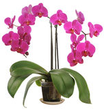 Phalaenopsis. Phalaenopsis is one of the most popular orchids in the trade, through the development of many artificial hybrids Stock Image