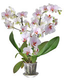 Phalaenopsis. Phalaenopsis is one of the most popular orchids in the trade, through the development of many artificial hybrids Royalty Free Stock Images