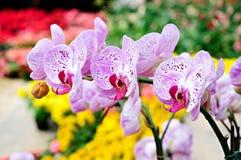 phalaenopsis Arkivbild