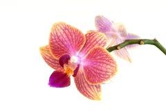 Phalaenopsis Arkivfoto