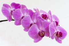 Phalaenopsis Imagens de Stock Royalty Free