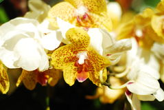 Phalaenopsis. Under the sun royalty free stock images