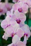 Phalaenopsis Obrazy Stock