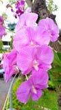Phalaenopsis Royaltyfri Fotografi