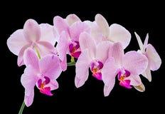 Phalaenopsis Royalty Free Stock Image