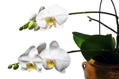Phalaenopsis Photographie stock