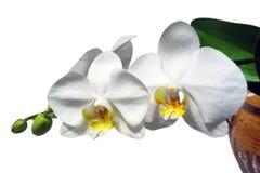 Phalaenopsis Photo stock