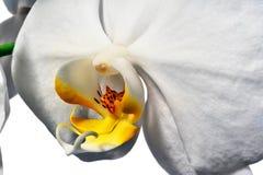 Phalaenopsis Στοκ Εικόνες