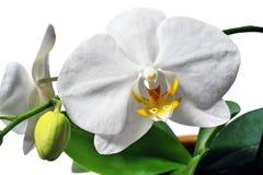 Phalaenopsis Photo libre de droits