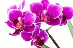 Phalaenopsis Arkivfoton
