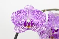 Phalaenopsis Images libres de droits