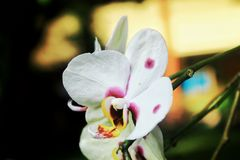 Phalaenopsis Imágenes de archivo libres de regalías