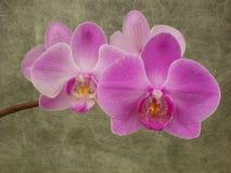 Phalaenopsis Stockbild