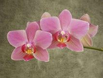 Phalaenopsis Fotografering för Bildbyråer