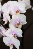 Phalaenopsis Stockbilder