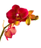 Phalaenopsis alaranjado da orquídea Foto de Stock Royalty Free
