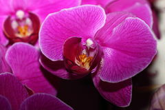 Phalaenopsis amabilis Royalty Free Stock Images